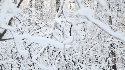 Winter forest . Dolly shot