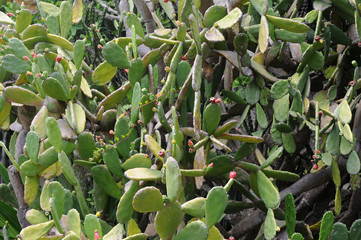 cactus au jardin botanique de Deshaies en guadeloupe