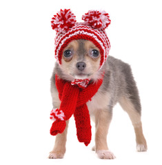 Chihuahua puppy in red and white striped funny hat and scarf