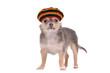 Funny chihuahua puppy in rastafarian hat