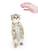 Striped scotish kitten fold pure breed standing isolated