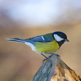 Blue Tit - Parus major