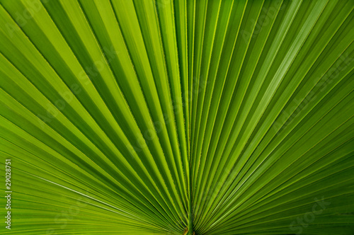 Foto op Plexiglas Palm boom Fan of Green