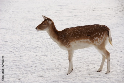 A roe deer in the snow