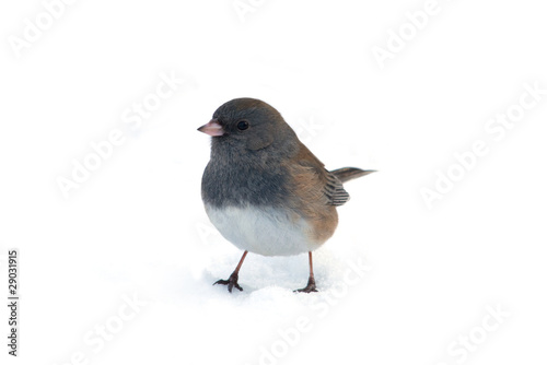 Isolated Dark-eyed Junco