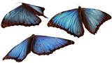 3 morpho butterflies flying away