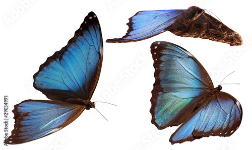 3 morpho butterflies