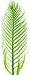 palme de palmier sagoutier