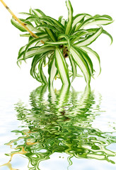 phalangère, chlorophytum, plante araignée