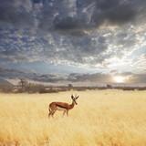 Fototapeta zwierzę - Antelope - Dziki Ssak