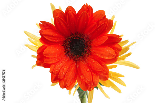 gerbera and mums flowers