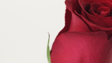 Red rose slowly rotates