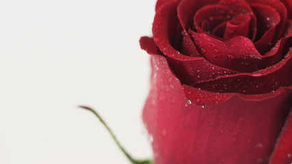 Red rose comes into view
