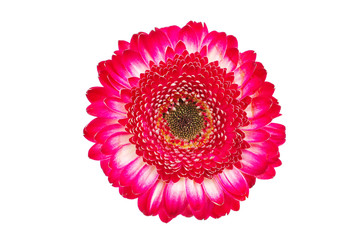 natural red gerbera flower