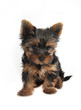 Sweet puppy Yorkshire Terrier in front, 3 month