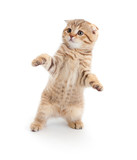 Fototapety Striped Scottish kitten fold pure breed dancing isolated