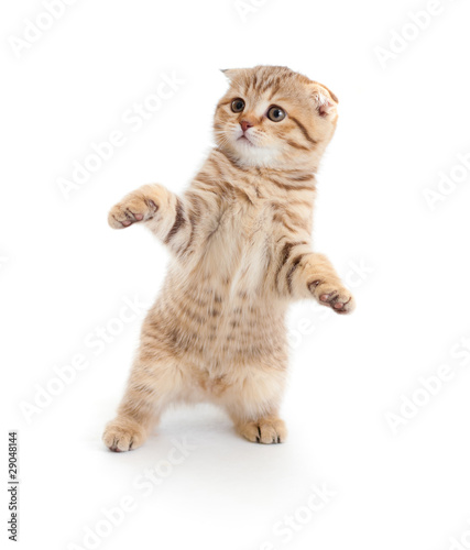 Striped Scottish kitten fold pure breed dancing isolated