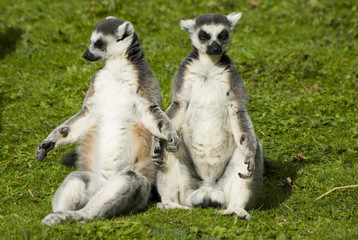 Mr and Mrs Lemur