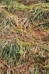fili d'erba