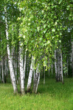 Fototapety birch trees with young foliage