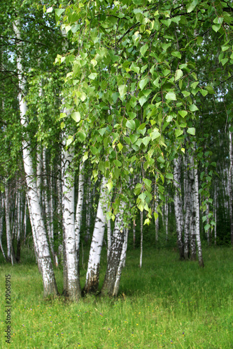 Fotobehang Berkbosje birch trees with young foliage
