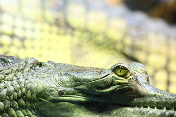 gavial crocodile