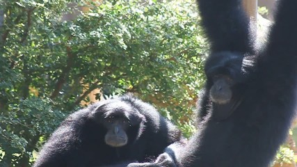 Couple of Siamang