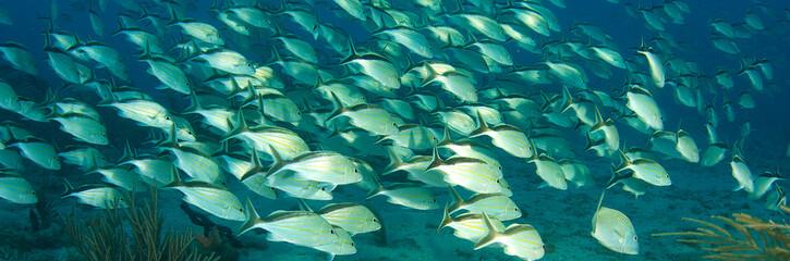 Schooling Cottonwick Grunts on a reef in Boca Raton, Florida.