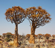 Qiwer tree