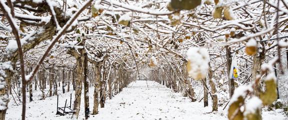 Snow at the vineyard