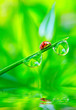 The ladybug on a dewy grass over water level.