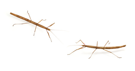 stick bug, insect