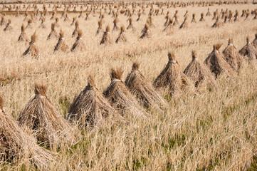 藁を干す風景