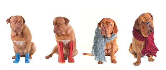 Four Dressed Dogs wearing scarfs and boots