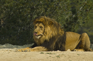 Male lion (Panthera leo)