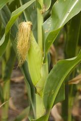 Maize-ear