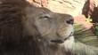 Löwenmännchen