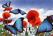 Blue butterflies flying over a field with poppies