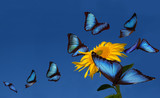 Blue morphos dancing around a sunflower
