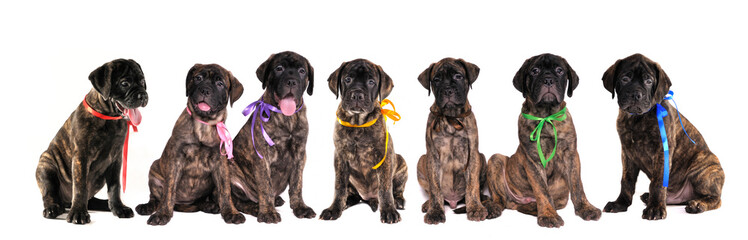 Seven puppies of bullmastiff in front of the white background