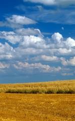 Getreidefeld im Spätsommer