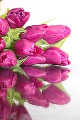 Tulpe lila mit Spiegelung