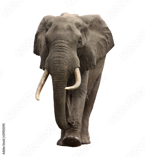 elephant approaching isolated