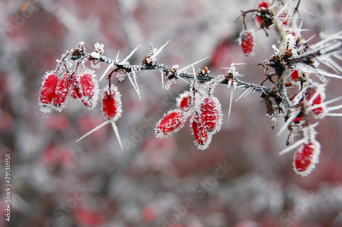 Fototapeta na wymiar Red berries covered with frost