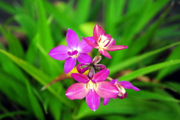 Purple orchid in Thailand.