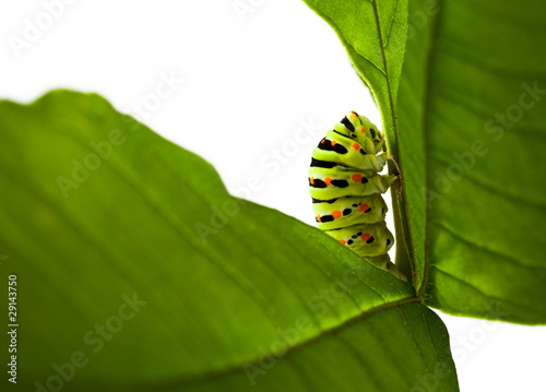 colorful caterpillar on green leaf