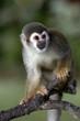 canvas print picture - Cute Monkey