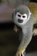 canvas print picture - Monkey