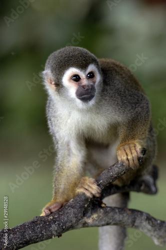 canvas print picture Cute Monkey