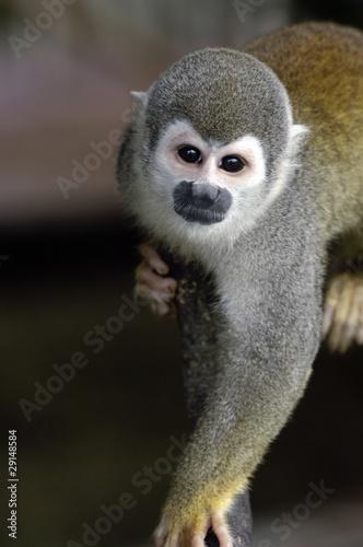 canvas print picture Monkey